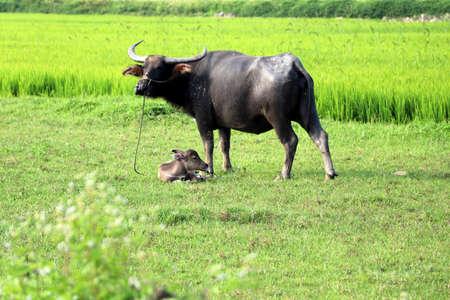 Rice fields near Hoi An with water buffalo - Vietnam Asia