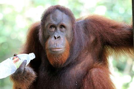 Borneo orangutan (Pongo pygmaeus) - Semenggoh Borneo Malaysia Asia