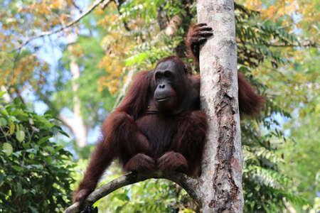Borneo-Orang-Utan (Pongo pygmaeus) - Semenggoh Borneo Malaysia Asien