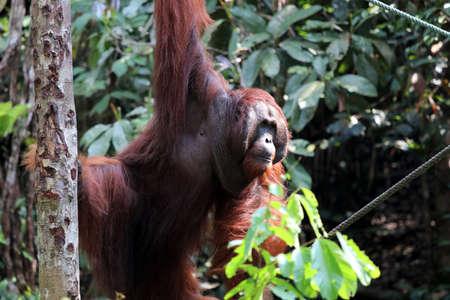 Borneo orangutan (Pongo pygmaeus) - Semenggoh Borneo Malaysia Asia Stock Photo
