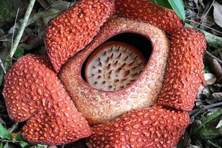 Rafflesia (Rafflesia arnoldii) - Borneo Malaysia Asia Stock Photo