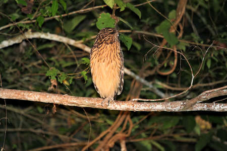 Buffy fish owl (Ketupa ketupu) at night - Borneo Malaysia Asia 写真素材