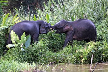 Borneo pygmy elephants (Elephas maximus borneensis) - Borneo Malaysia Asia Banque d'images