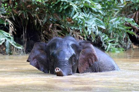 Borneo pygmy elephants (Elephas maximus borneensis) bathe in the river - Borneo Malaysia Asia Banque d'images