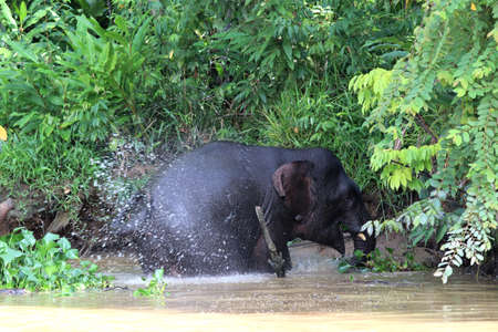 Borneo pygmy elephants (Elephas maximus borneensis) bathe in the river - Borneo Malaysia Asia