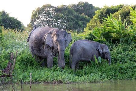 Les éléphants pygmées de Bornéo (Elephas maximus borneensis) - Bornéo Malaisie Asie