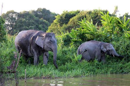 Les éléphants pygmées de Bornéo (Elephas maximus borneensis) - Bornéo Malaisie Asie Banque d'images