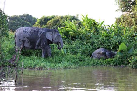 Borneo pygmy elephants (Elephas maximus borneensis) - Borneo Malaysia Asia