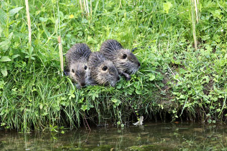 Three young nutrias - Schwetzingen Germany Stock Photo