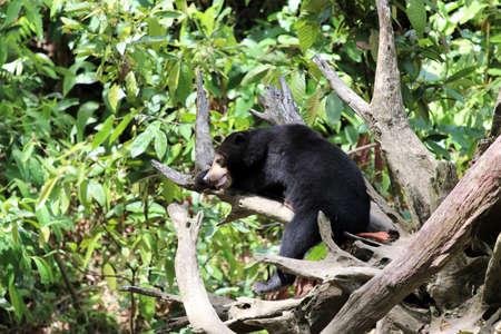 Sun bear (Helarctos malayanus) - Borneo Malaysia Asia