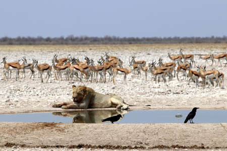 Lion at the waterhole - Namibia Africa