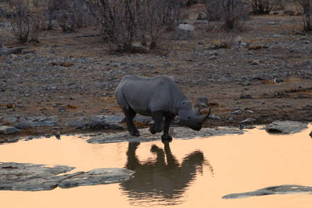 Rhinoceros at the waterhole at sunset - Namibia Africa