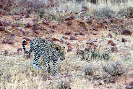A leopard in the steppe - Namibia Africa