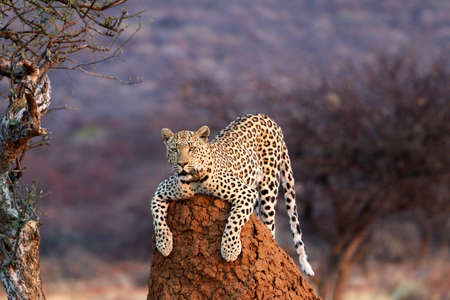 Leopard on a termite hill - Namibia Africa