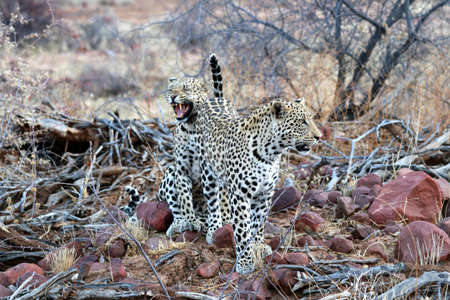 Two leopards - Namibia Africa Stock fotó