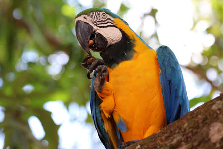 Blue-and-yellow macaw (Ara ararauna) - Pantanal, Mato Grosso, Brazil