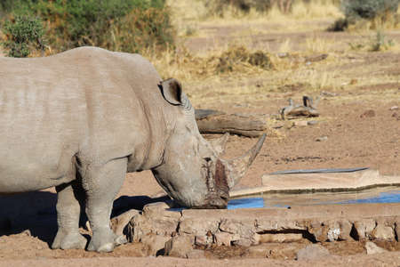 wide-mouthed rhinoceros - Namibia Africa