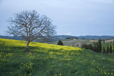 Isolated tree in Chianti countryside, Tuscany, Italy photo