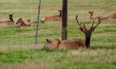 Maine Whitetail Deer in a reserved place in Maine, USA Stock Photo