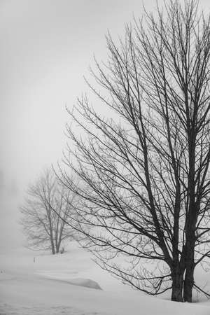 Snow-covered single tree isolated on pure white background