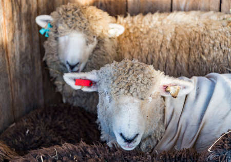Funny sheep. Portrait of sheep in a farm in Maine, USA