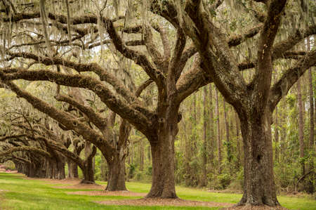 Tree boulevard in the Boone Hill plantation in Charleston SC - USA Stock Photo