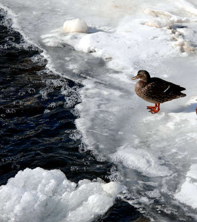 duck on a frozen lake in Ontario, Canada