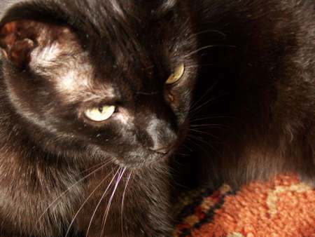close up on a black cat on a colorful carpet
