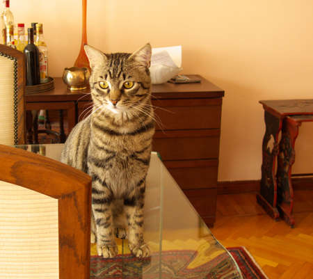 cat sitting an a glass table in a dining room