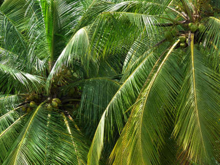 coconut trees in Kerala, south India, the land of the coconuts