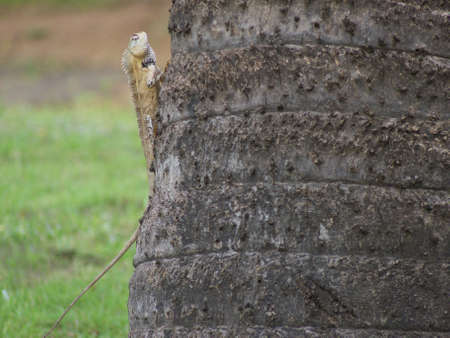 Lizard of species found in the indian subcontinent Stock Photo - 1214975