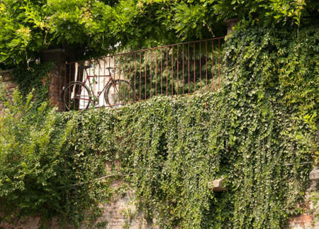 bike chained to a railing above a wall covered with ivy Stock Photo