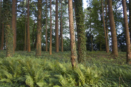Trees in a forest in Belgium