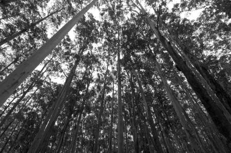 looking up in a forest of eucalyptus trees Stock Photo