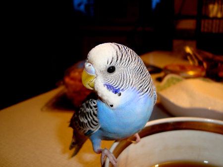 Blue parrot sitting on teacup
