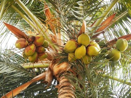 Kokosnüsse auf Palme Lizenzfreie Bilder