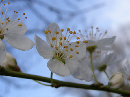 Apple tree flower macro