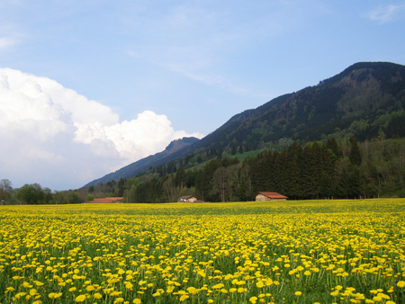 Dandelion field in bavarian Alps