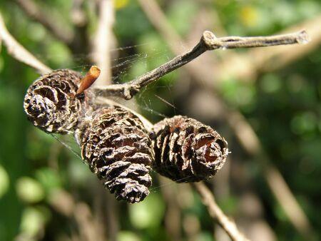 vegetative: Alder tree cones