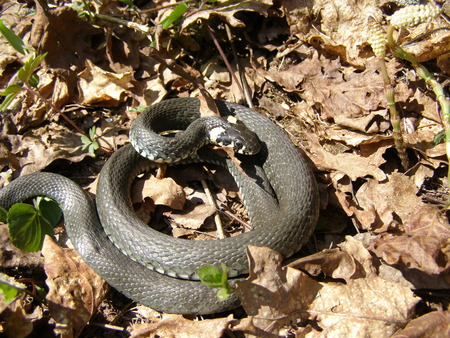 hibernate: Coiled up grass snake Stock Photo