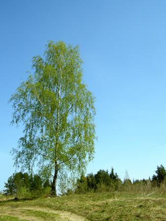 Birkenbaum im Frühjahr