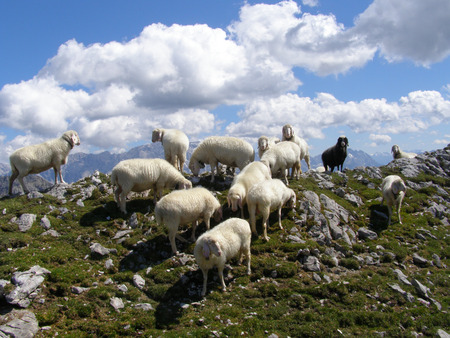 Sheep on mountain slope