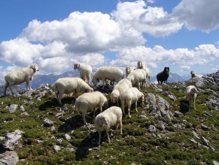 slope: Sheep on mountain slope