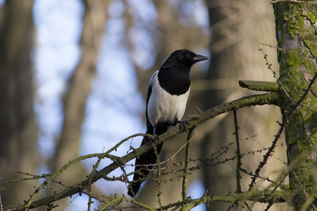 magpie: Common magpie bird