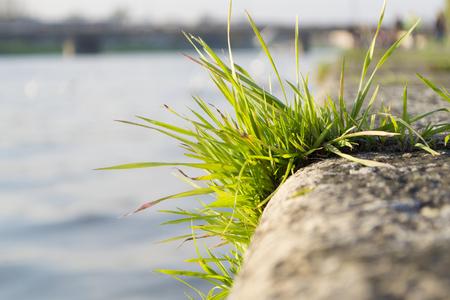 tuft: Tuft of grass on embankment wall