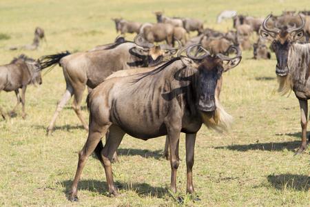 tanzania antelope: Gnu antelope