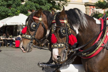 horse pull: Decorated horses with harness