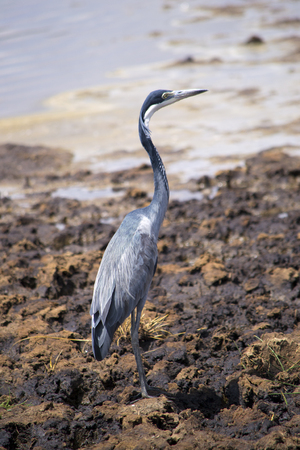 naivasha: Grey heron on Lake Naivasha in Kenya
