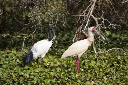 naivasha: Ibis and spoonbill on Lake Naivasha in Kenya