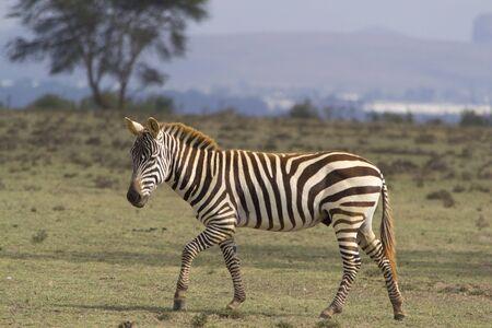 crescent: Young zebra on Crescent Island, Kenya